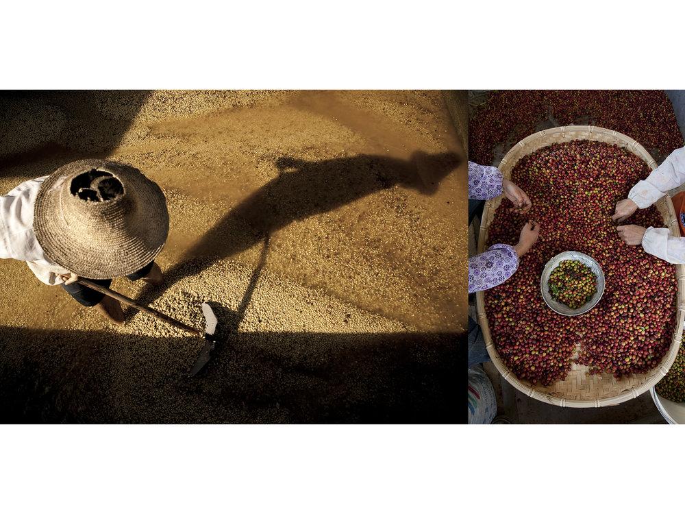 Yunnan Coffee2.jpg