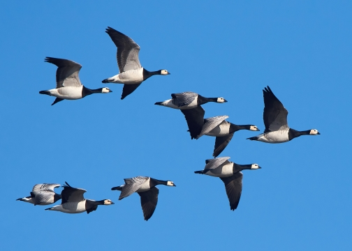 Barnacle geese flying in formation