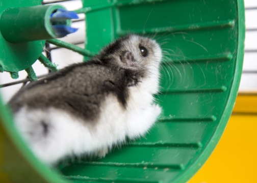 Active hamster in a treadmill