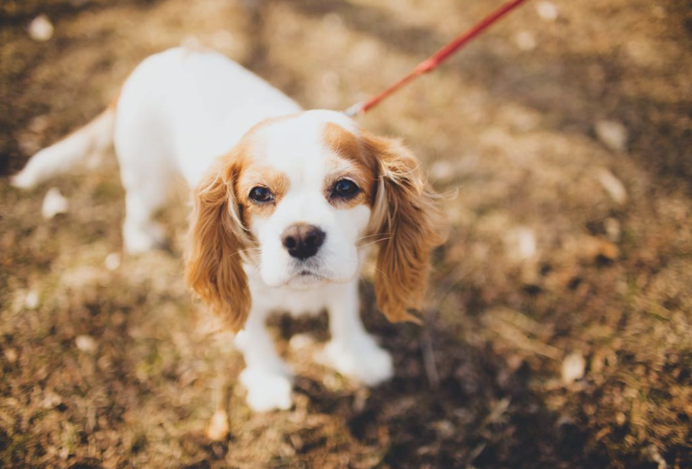 Cavaliers for days - I love a Cavalier who shares my passion for life. Pizza, brunch and DONUTS! Chicago living to the max.Follow at @OLIVEYOUMORE_CAVALIER
