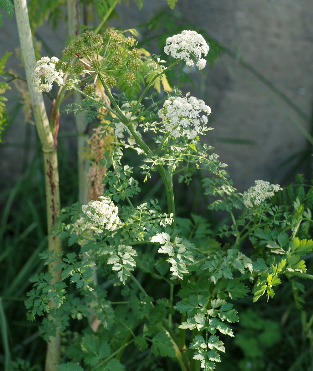 Hemlock Water Dropwort Vertex Access.jpg