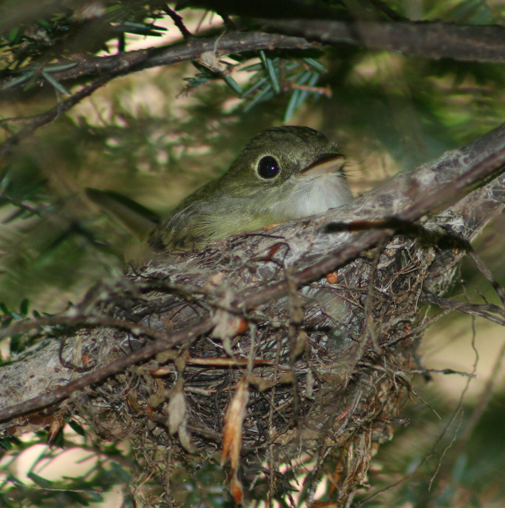 An Acadian Flycatcher nesting in the fork of a Hemlock branch. An invasive insect, the Hemlock Woolly Adelgid, kills a preferred nesting tree and negatively alters forest structure for this species.