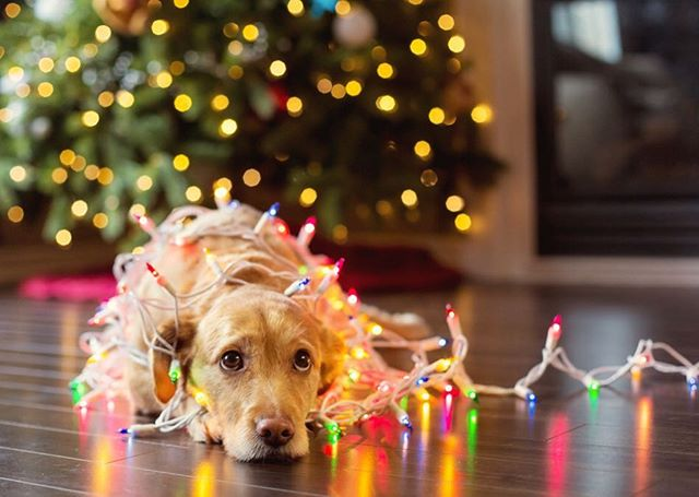 As beautiful and interesting as holiday decorations are, it's no surprise that they can turn into hazards for our pets - especially cats and dogs! Have your pets been getting in trouble around your decorations? Remember to keep the fur babies in mind when decorating to ensure your home is not just beautiful - but safe - during the holiday season!  #petsafety #holidaydecor #holidaydecorations #petsandholidays #holidaypets #christmasdecor