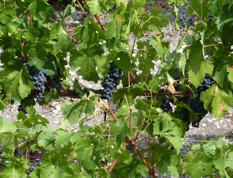 The mild climate and the calcium-rich soils in the region of Bordeaux are perfect for growing grape vines. Red Bordeaux wine is usually made from a blend of different grapes.