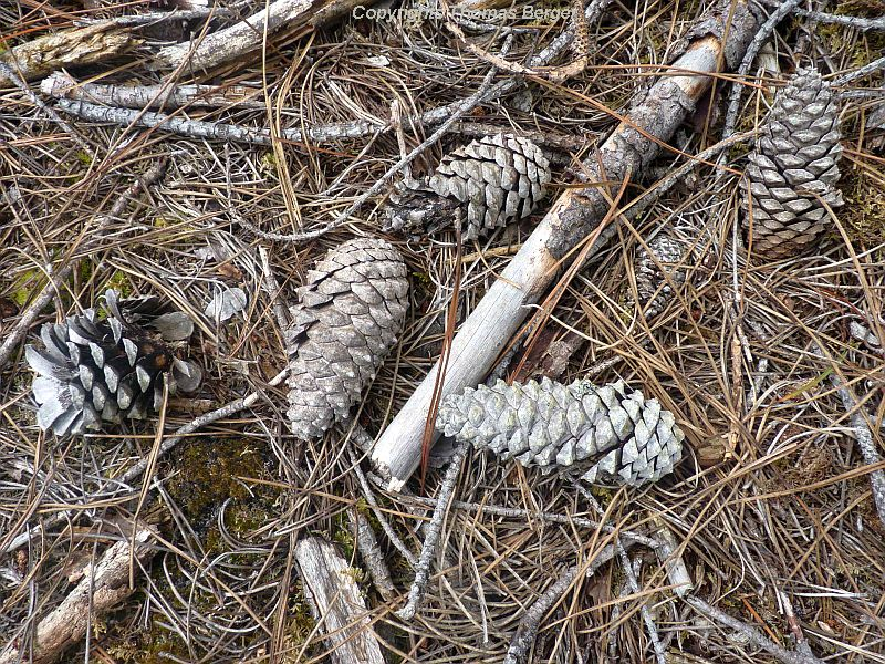 The large and very hard pine cones litter the ground in the forests, but selected plantings are used for the production of seed.