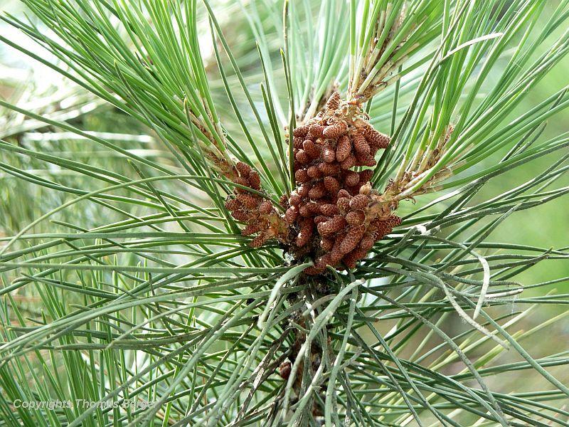Male Maritime Pine cones