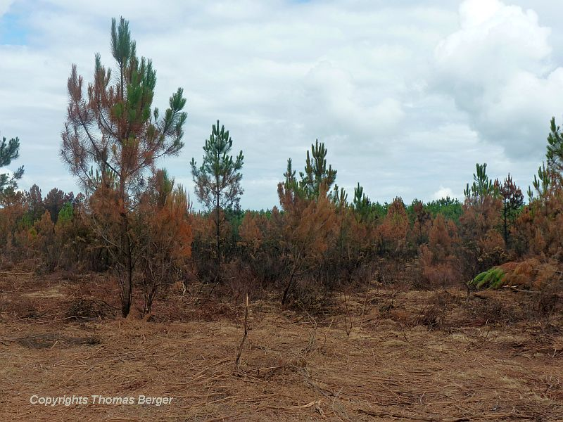 This young planting had to withstand a brush fire, but most of the pine trees have survived.