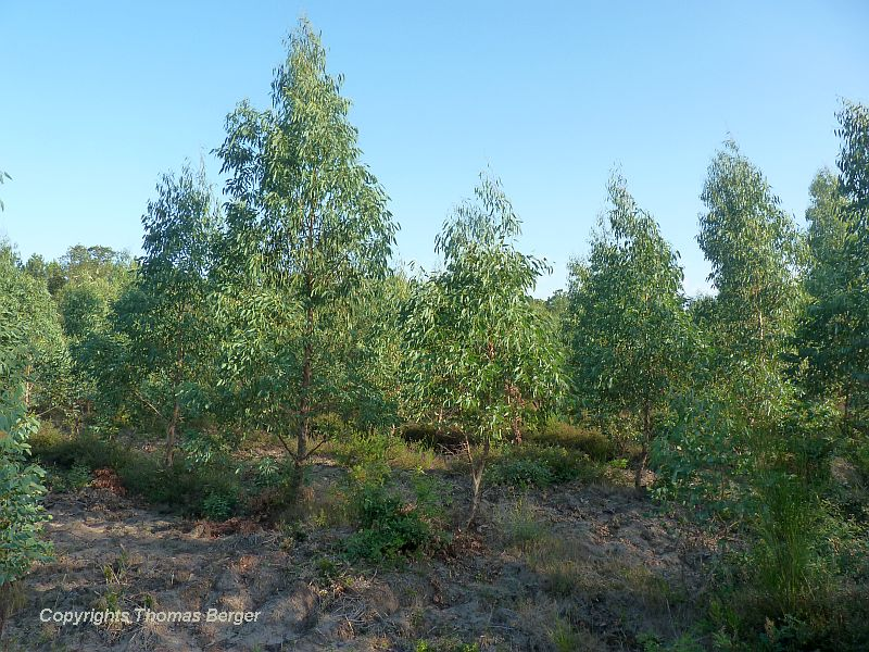 The Maritime Pine is rarely replaced by other species. Yet we did find a Eucalyptus plantation south of the Landes de Gascogne.