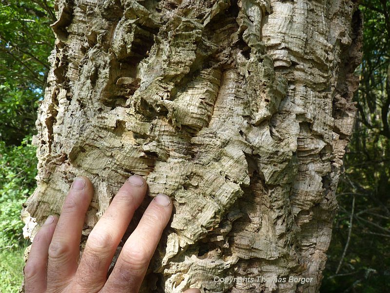 Thick bark protects this tree from brush fires. Since antiquity, it has been harvested to produce corks for bottles.
