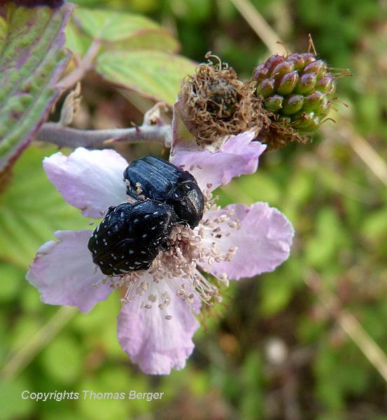 A pair of Jewel beetles (Fam. Buprestidae) visits the flower of a blackberry plant.