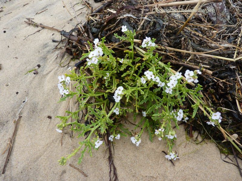 European Sea Mustard or Searocket (Cakile maritima) can be found on beaches close to the water line. It tolerates high concentrations of salt. The foliage is somewhat succulent.