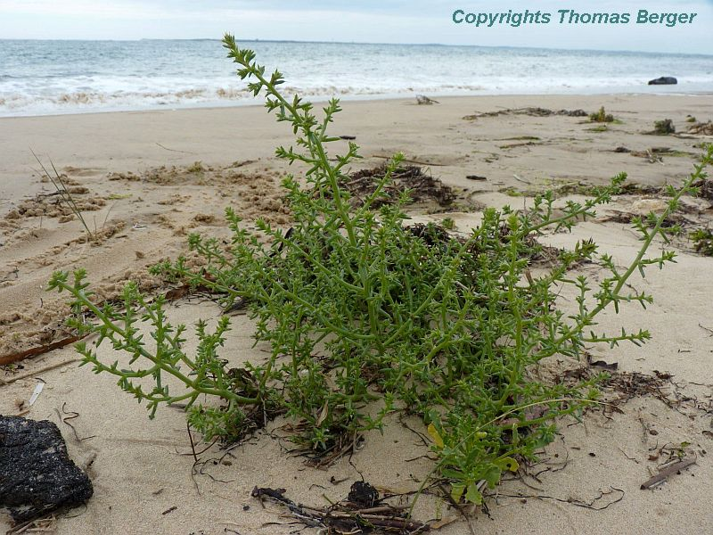Prickly Sea Wort (Salsola kali, or Kali turgida) grows right at the water line.