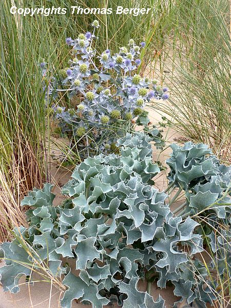 Sea Holly (Eryngium maritimum) has striking silvery-blue foliage and thistle-like flowers.