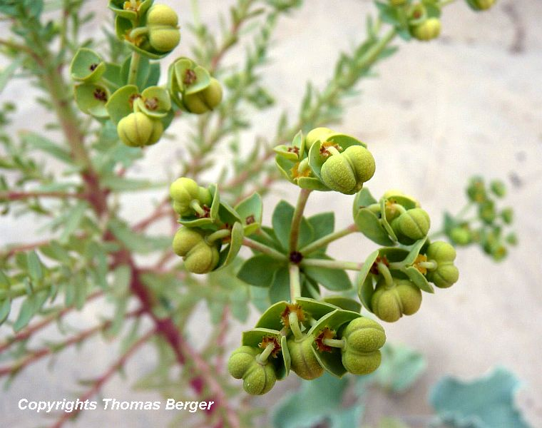 Here we see a Sea Spurge with seeds developing.