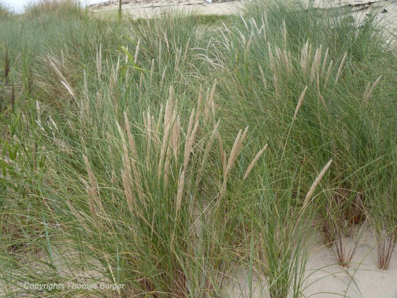 Here we see the inflorescence of Marram Grass.