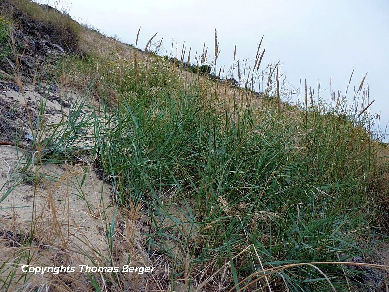 Elymus farctus is another common grass adapted to coastal sand dunes. The leaf blades have a strong bluish cast.