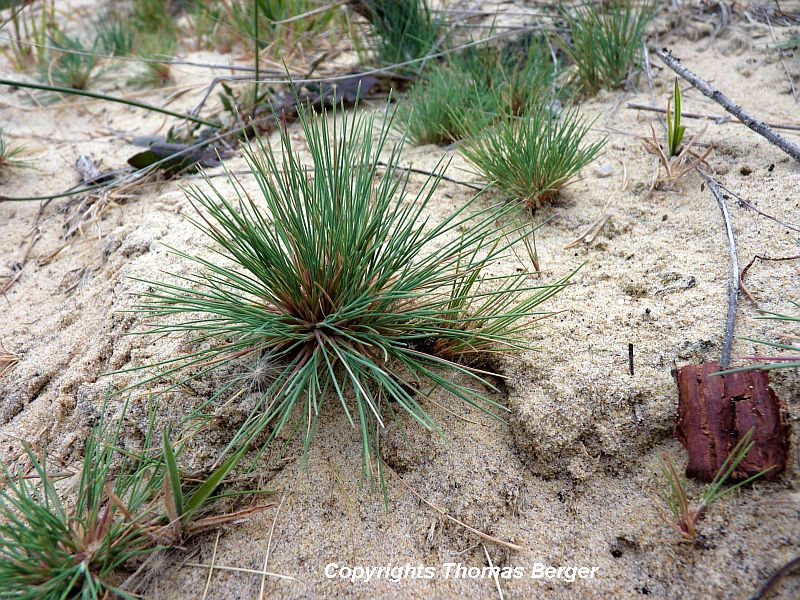 Grey Hair Grass (Corynephorus canescens) is a small grass specialized to grow in locations with poor-quality sandy soils. It tolerates extreme drought and is competitive in sites with very low levels of organic matter and nutrients. Typically it is found on sand dunes and in parts of birch or pine forests that have sandy soil.
