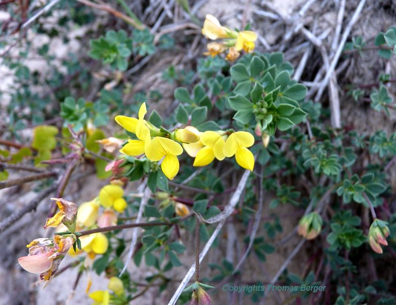 This subspecies of Bird's Foot Trefoil (Lotus corniculatus crassifolius) is well-adapted to the sand dune environment.