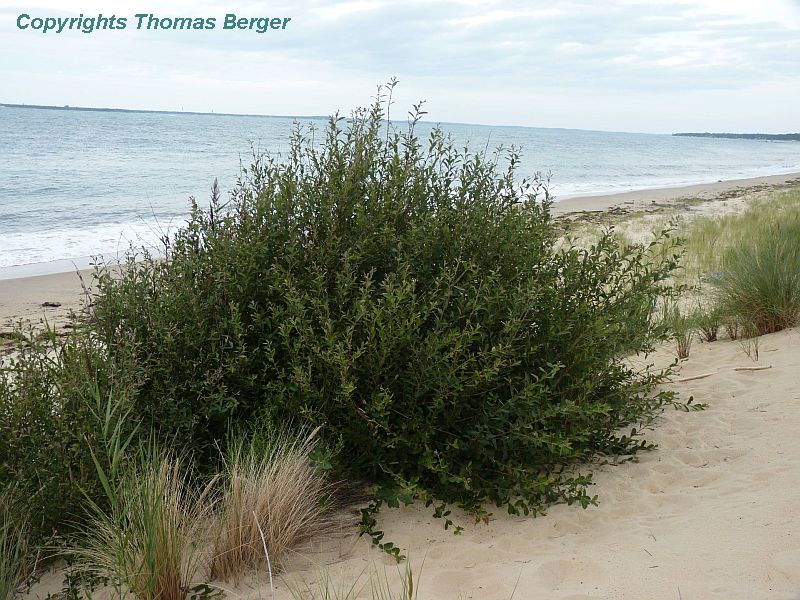This willow species (Salix) is also among the woody plants found at the foot of sand dunes.