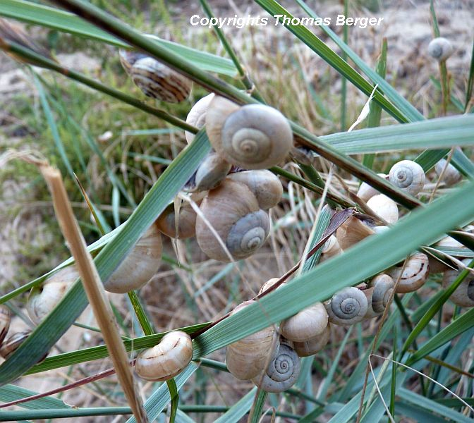 Snails are generally inactive during the dry period of summer, becoming active only after a heavy rain.