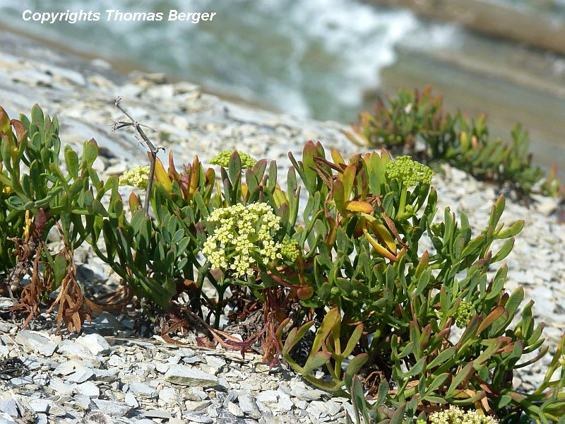 Samphire (Crithmum maritimum) is an edible plant and was once sold in markets in Great Britain, where it is now a protected plant. It was historically eaten pickled or fresh in salads. It belongs to the parsley family (Umbelliferae), has succulent leaves, and is very common on the cliffs of the Basque region.