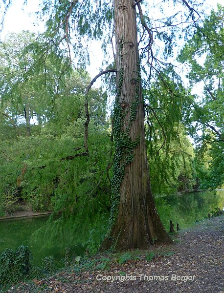 Many of the trees are hundreds of years old. This old Swamp Cypress (Taxodium) has developed 'knees' - woody knobs protruding from the ground on the edge of the water.
