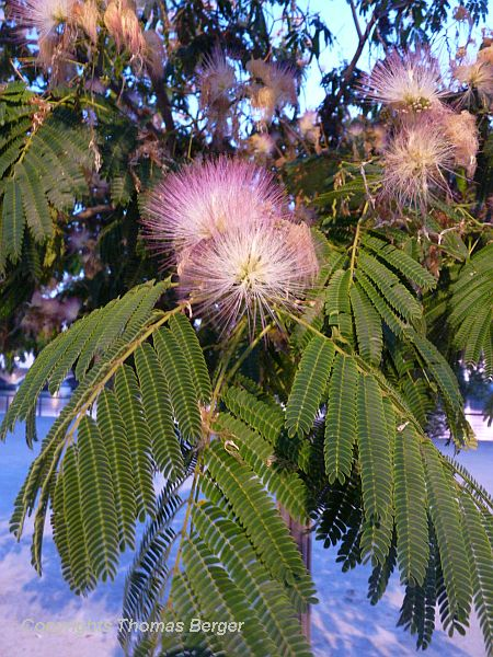 The charming, Acacia-like Albizia julibrissin is quite common in public spaces as well as in home gardens.