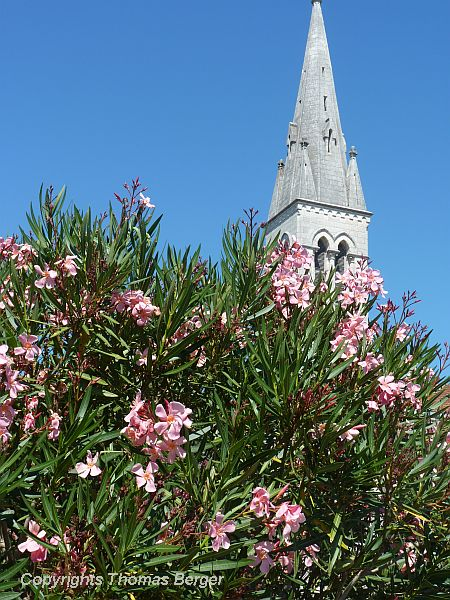 Oleander, a poisonous evergreen shrub with beautiful flowers, is found in many ornamental plantings. It easily survives the mild coastal winters of the region.
