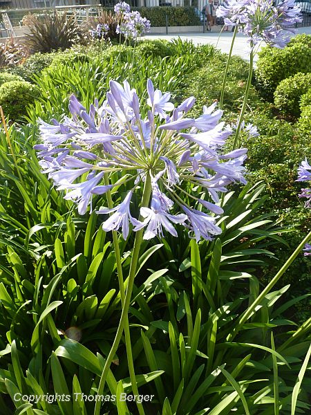 Agapanthus impresses with blue flowers and bold foliage.