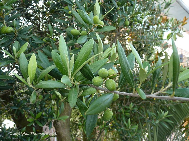 Olive trees can also grow in this region, but are more often used for ornamental purposes than for fruit production.