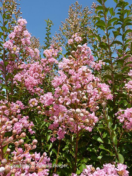 This beautiful shrub was quite common in ornamental plantings. It is Crape Myrtle (Lagerstroemia), which we New Englanders never get to see without traveling to milder climates.