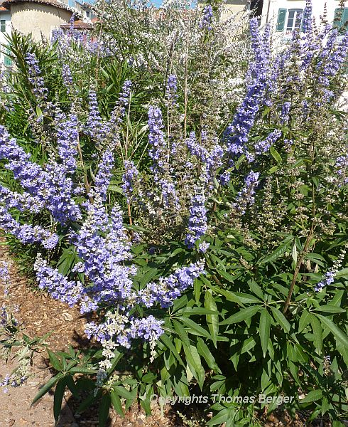 The Chaste Tree (Vitex agnus-castus) is frequently planted in gardens and parks. It attracts butterflies with its blue flowers and fine fragrance. The shoots are traditionally used for weaving baskets, and the plant also has a number of medicinal uses.