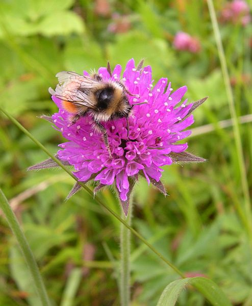 Other common plants are Pincushion flower (Knautia arvensis) and Succisa pratensis, both members of the Dipsacaceae.
