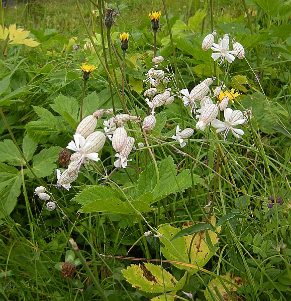Silene vulgaris is common in rich, moist meadows.