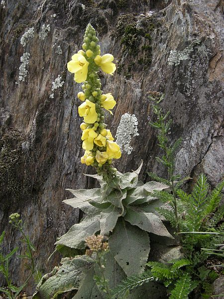 Verbascum densiflorum, an old medical plant, is found in dryer locations.