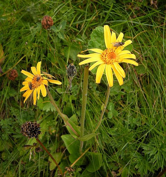 "This delightful plant is Arnica montana. Rare in many parts of Europe and usually limited to 'extensively used' mountain meadows, it is a very popular medical plant. The German name says it all: ""Berg-Wohlverleih"", which translates to ""Mountain-Wellness-Giver."""