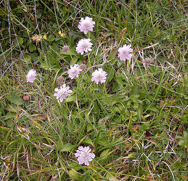 Another common flowering plant is Scabiosa lucida.