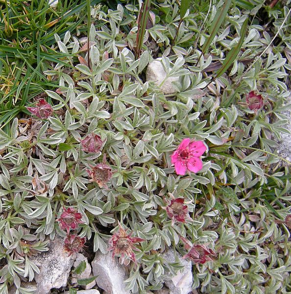 This alpine potentilla (P. nitida) - typical of the Dolomites - has beautiful silvery foliage and pink flowers.