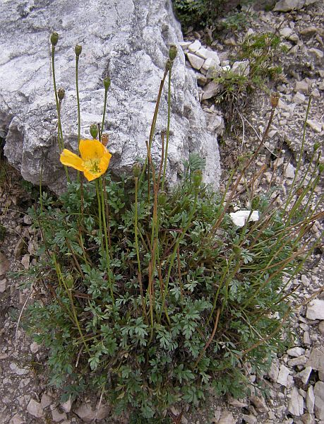 Papaver alpinum rhaeticum - the Alpine Poppy.