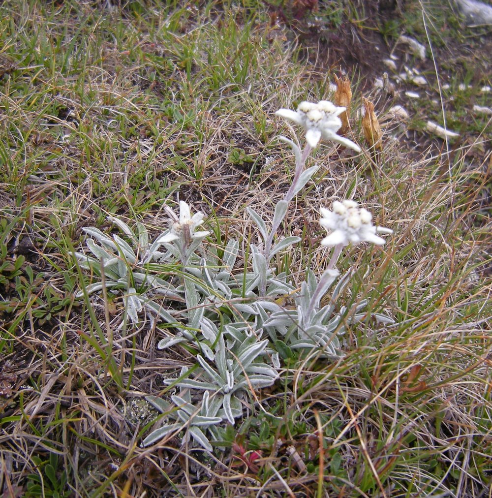 "Leontopodium - Edelweiss - was used extensively as a hat ornament, but is now protected. It is also the star of the song ""Edelweiss"" in The Sound of Music."