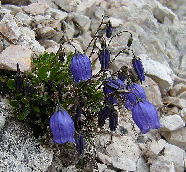 The alpine bellfowers were some of the most striking little plants that I saw. Pictured above is Campanula cochlearifolia.