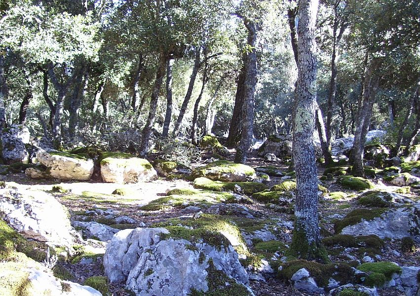 Oak forests are also typical of the Mediterranean. These are very slow growing trees! The lack of vegetation on the forest floor is likely due to overgrazing.