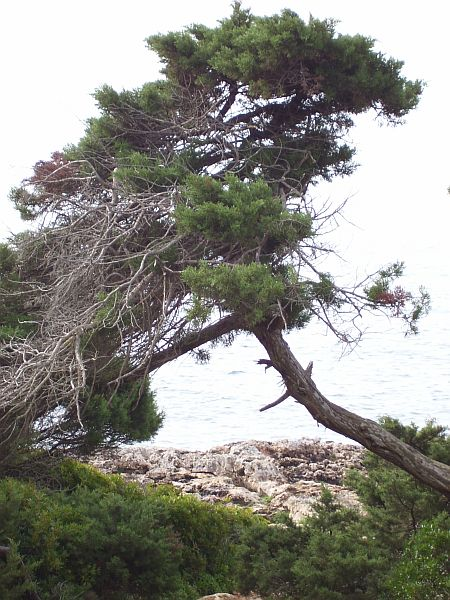 Common pines in Mallorca are P. halepensis, nigra, pinaster and pinea.