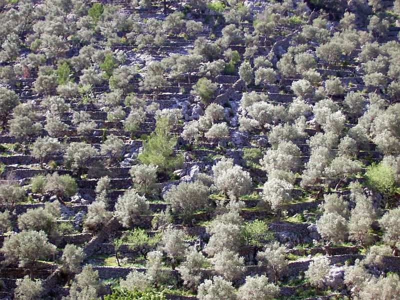 This slope has been terraced with stone walls and planted with olive trees and other fruit trees, such as almonds and apricots.