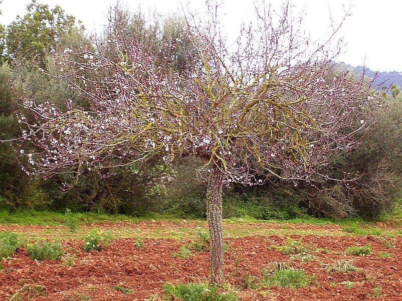 And here is an almond tree (Prunus dulcis) in bloom!