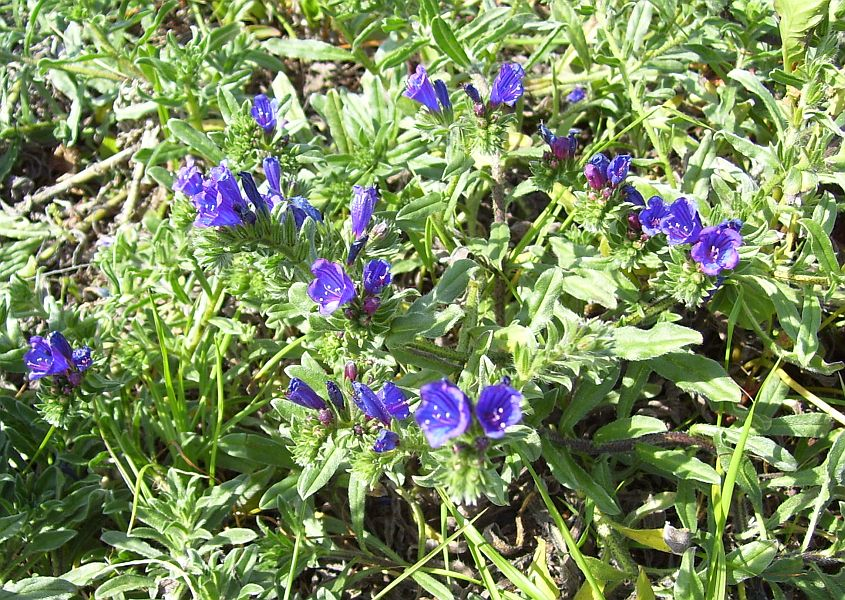 Pictured above is Anchusa azurea.