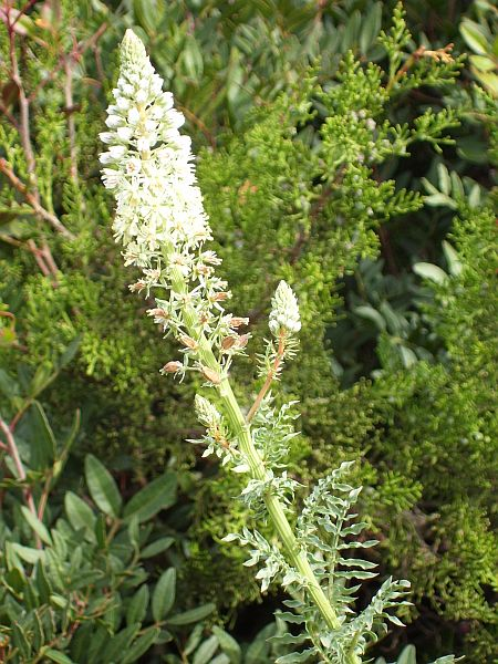 The fragrant Reseda alba was once a popular plant in the gardens of European courts.