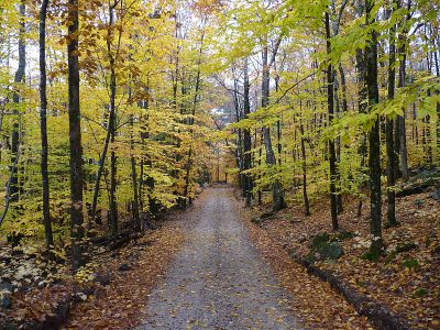 Beech forests turn a pleasing yellow in the fall.
