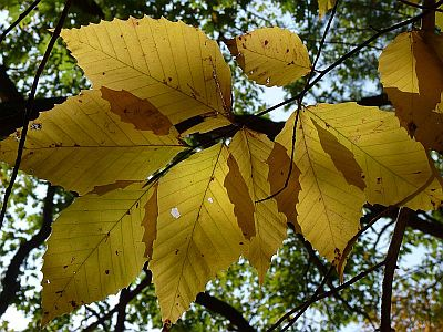 golden foliage-300.jpg