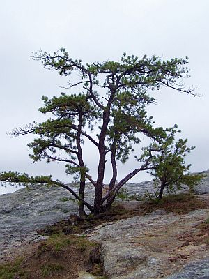 Pine on ledge-400.jpg
